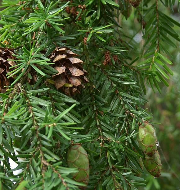 Hemlock (Western) / Western Hemlock Tree / hem lock - Wild ...